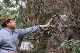 Cận cảnh gốc đào rừng trăm tuổi, nặng hơn 1 tấn thu hút đại gia chơi Tết