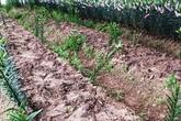 Xót cảnh nông dân bị nhổ trộm 1.400 gốc hoa ly ngày cận Tết