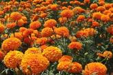 Không cần dùng thuốc xịt độc hại, đám côn trùng sẽ chẳng dám bén mảng vào nhà nếu trồng 5 loài cây này quanh nhà