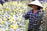 Hà Nội: Nông dân Tây Tựu tất bật thu hoạch hoa phục vụ Rằm tháng Chạp