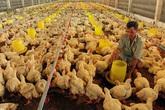 Người nuôi gà miền Bắc lãi, miền Nam lỗ nặng