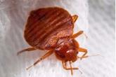 Rệp giường là 1 trong 10 loại côn trùng gây hại bậc nhất, đây là cách tiêu diệt chúng