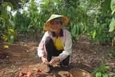 Hoa hậu H'Hen Niê mải mê thu hoạch rau trái trong vườn, rẫy