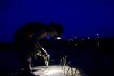 Xem nông dân Hà Nội đeo đèn pin cấy lúa từ hơn 3 giờ sáng