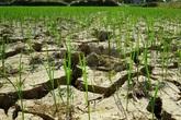 Nghệ An: Nắng nóng kéo dài, nguy cơ hơn 10 ngàn ha lúa gặp hạn