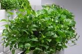 Có một loại cây cảnh hợp tất cả loại mệnh, mang lại tài lộc, may mắn, sức khỏe theo phong thủy, dễ trồng, giá rẻ giật mình