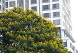 Ngắm hoa điệp nở vàng rực nhiều góc phố Hà Nội