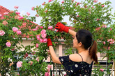 Vườn hồng 70 loại hoa của bà mẹ trẻ
