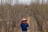 Thu hàng chục triệu mỗi ngày từ đào Nhật Tân nở sớm