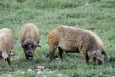 Cụ ông mất tích nhiều ngày liền trước khi hàng xóm tìm thấy xương và sọ của ông, nghi bị lợn nhà nuôi ăn thịt