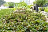 Sân thượng 25m² xanh tốt đủ rau quả quanh năm của cô giáo dạy Toán ở Quảng Ngãi