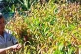 Mang rau rừng trồng trong vườn, thành triệu phú