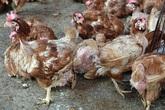 Loại gà thế giới thải bỏ, ở nước ta giá đắt ngang đặc sản