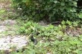 Quảng Ninh: Thả 2 cá thể rắn hổ mang chúa