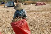Có hay không thuốc diệt cỏ làm khô nông sản?