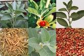 """Công dụng thần diệu của loại thảo dược có tên trong """"sách tình dục kinh điển"""" hơn 4.000 năm của Ấn Độ"""