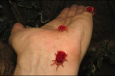 Ve nhung đỏ - loài côn trùng khiến đàn ông Ấn Độ lũ lượt tìm mua