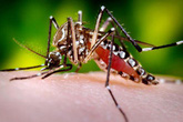 Lần đầu tiên thả muỗi để phòng bệnh sốt xuất huyết