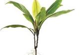 Labisia pumila - cây thuốc làm vững chắc cơ âm đạo