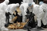 """Dân Hà Nội """"xơi"""" 2 tấn gà thải mỗi ngày!"""
