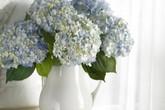 5 cách cắm hoa cẩm tú cầu tuyệt đẹp, sáng tạo