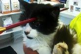 Chú mèo sống sót thần kỳ dù bị mũi tên đâm xuyên đầu