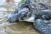 Rùa 'khủng' mắc lưới ngư dân