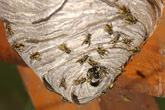 Chết vì cố sex với tổ ong