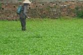 Những vựa rau muống 'ướp' thuốc độc ở Hà Nội
