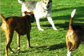 """Đòi bồi thường hơn 300 triệu đồng vì chó cưng bị """"cưỡng bức"""""""