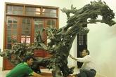 Chuyện lạ: Nhặt được những gốc cây 'mục' tiền tỷ