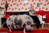 Nuôi nhầm lợn cảnh mini thành siêu lợn to như bò
