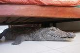 Tá hỏa phát hiện cá sấu dài 2,5m dưới gầm giường