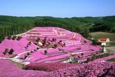 """""""Chết lặng"""" trước thiên đường hoa Shibazakura lãng mạn ở Nhật Bản"""