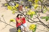 Cận cảnh hoa mai nở rợp trời trên núi Ngũ Hành Sơn
