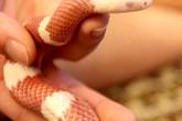 """Rờn rợn mốt nuôi rắn làm """"thú cưng"""""""