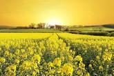 Ngỡ ngàng thiên đường hoa cải vàng lãng mạn ở Đức
