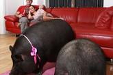 Cặp đôi Anh nuôi lợn ỉ Việt Nam để... làm cảnh