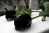 Hoa hồng đen huyền bí quý hiếm ở Thổ Nhĩ Kỳ