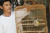 Cận cảnh con chim chào mào độc giá hơn nghìn đô