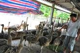 Nông dân nuôi đà điểu, lãi 300 triệu đồng/năm