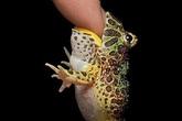 2 triệu đồng một con ếch 'ngoài hành tinh' dài 4cm