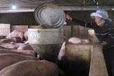 Làm phòng máy lạnh để... nuôi lợn