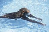 Khỉ biết bơi và lặn