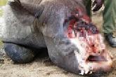 Clip rùng rợn về sừng tê giác