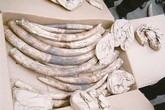 Bắt giữ lượng ngà voi khủng trong bao vỏ ốc biển