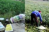 """Kinh hoàng chứng kiến nông dân """"tắm"""" hóa chất, dầu nhớt cho rau muống"""