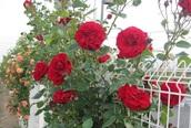 Thâm cung bí sử (88 - 12): Dù khắc nghiệt hoa hồng vẫn nở