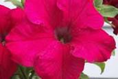 Đặt tên con theo tên các loài hoa (1)