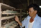 Chỉ với 300m2, lão nông nuôi chim cút lãi ròng 1 triệu đồng/ngày